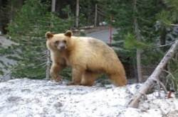 Please donate to help save our Reno Tahoe Bears!